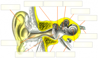 Anatomie de l'oreille